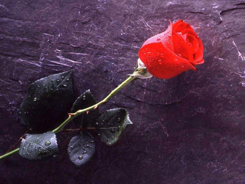 يوم الورد الاحمر (3)