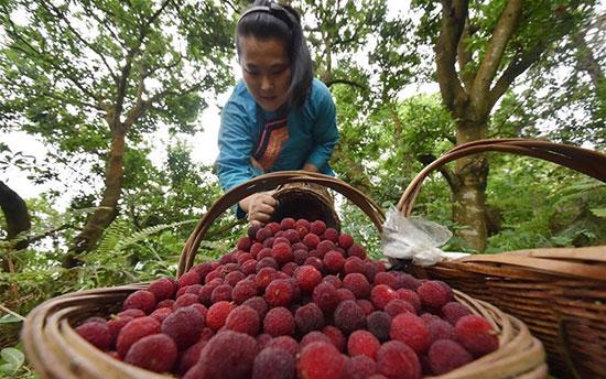 حصاد ثمار القطلب