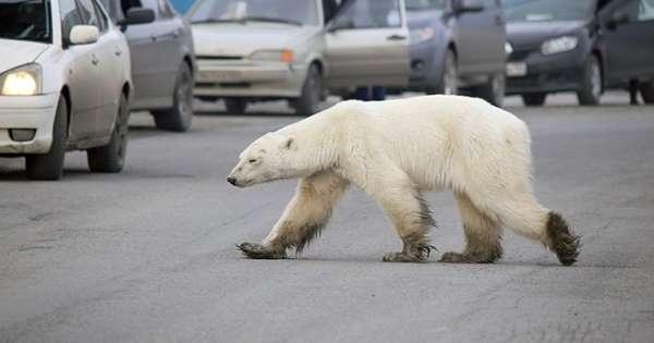 أنثى الدب القطبى فى حالة إعياء