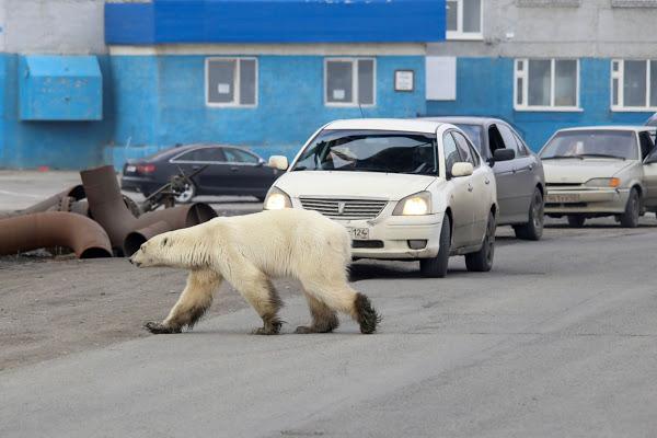 أنثى دب قطبى تتجول فى شوارع نوريلسك