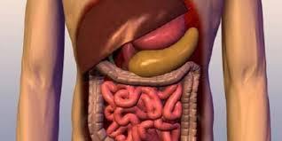 مراحل هضم الطعام بالجهاز الهضمى