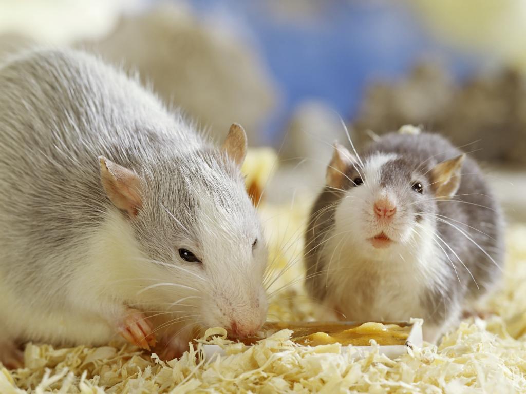 الخوف من الفئران (1)