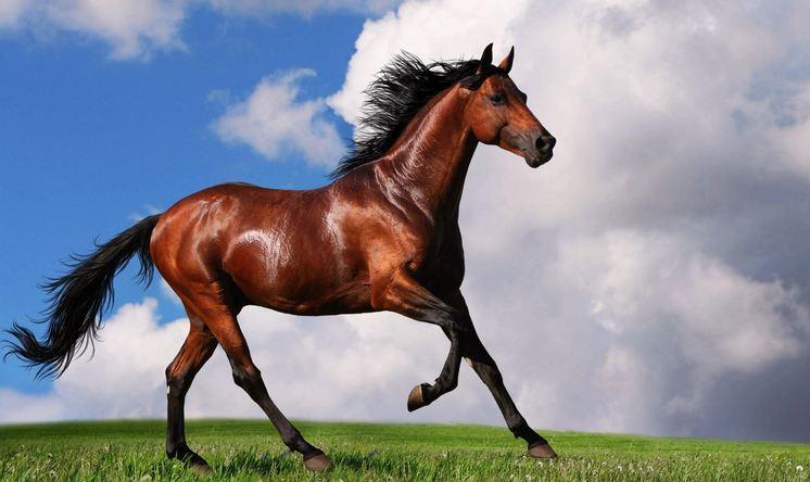 الحصان العربى