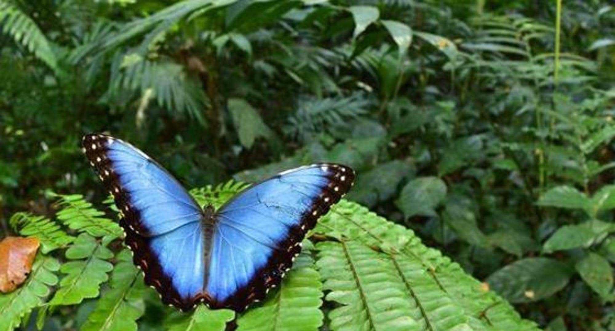 اكتشاف 246 نوعا من الفراشات ببما فيهم فراشة المورفو