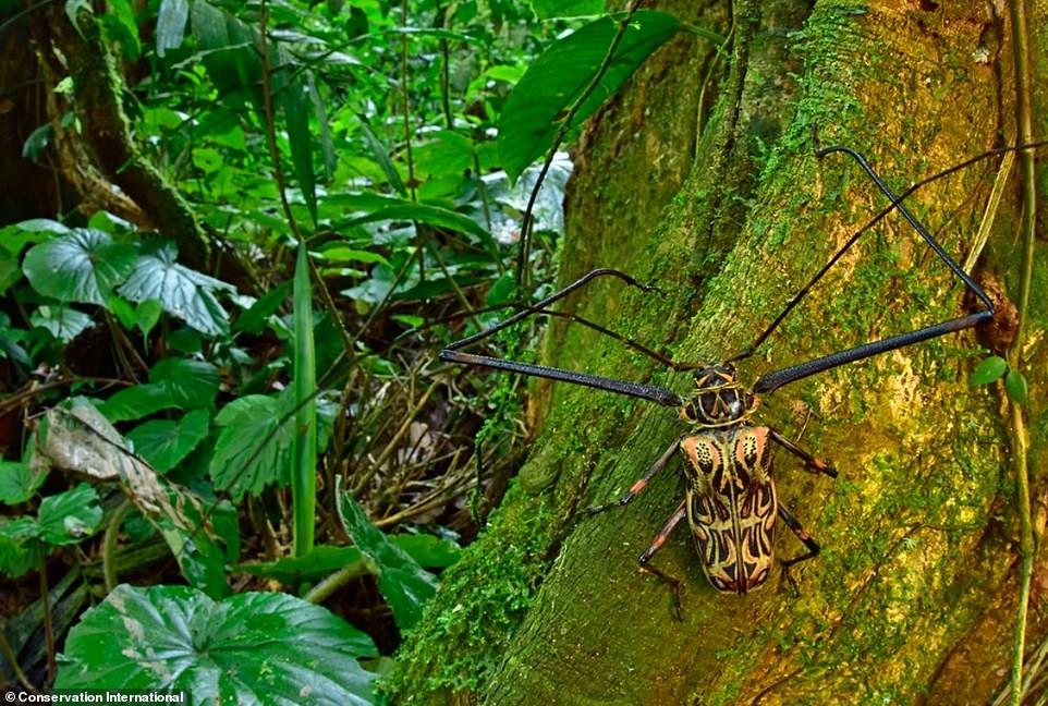 A male Harlequin beetle