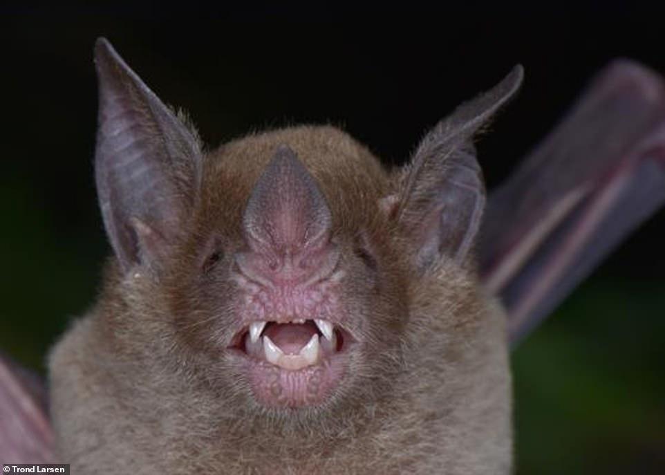 الخفاش ذو الوجه الواحد