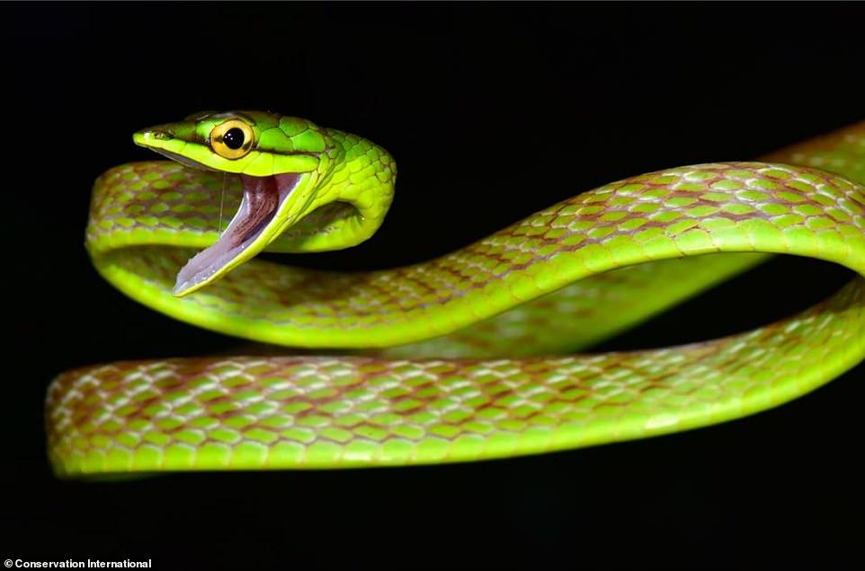 A vine snake