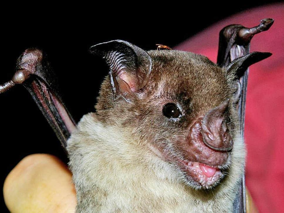 الخفافيش ذات الوجه الواحد