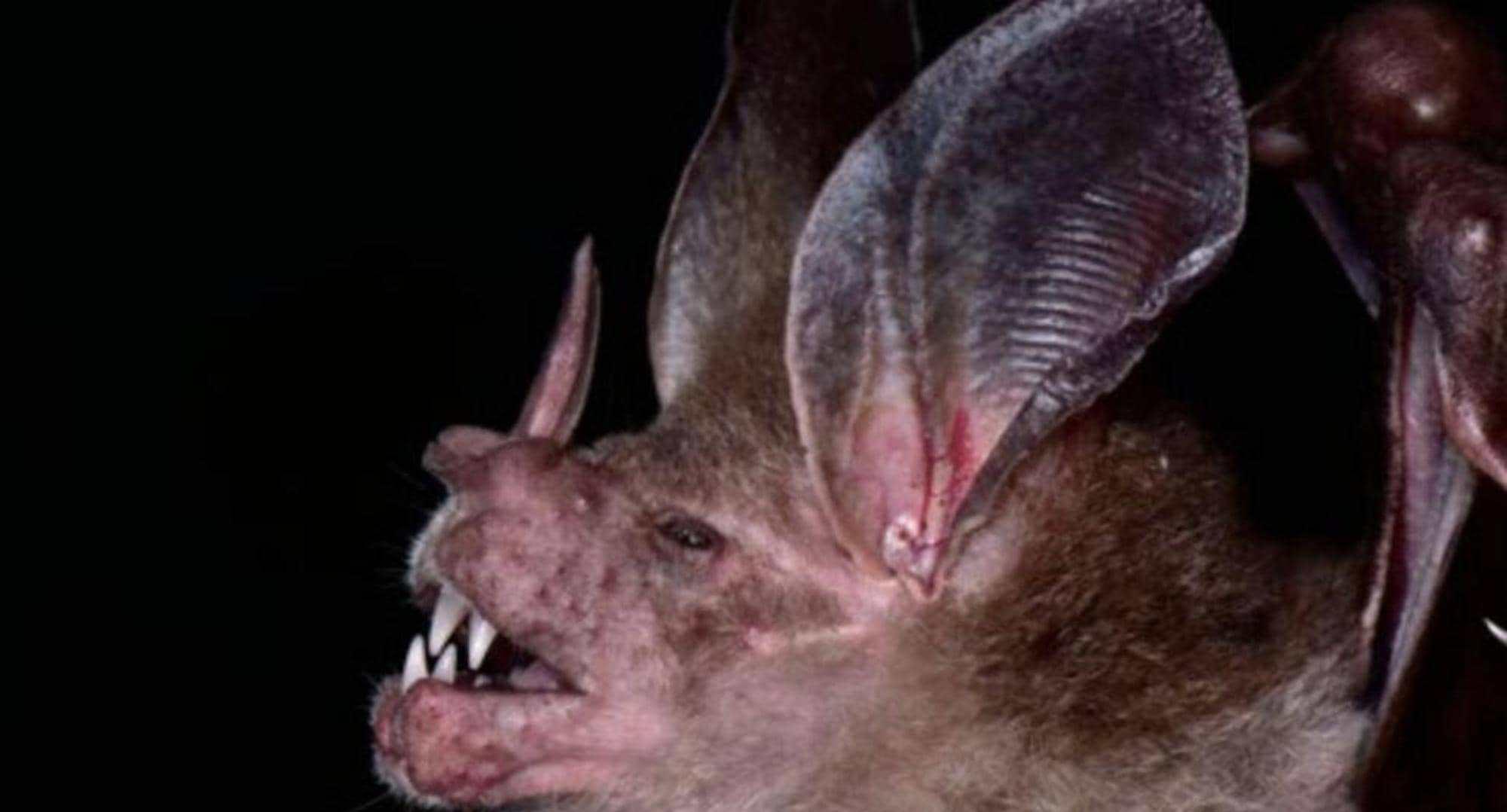 جانب آخر للخفاش المكتشف