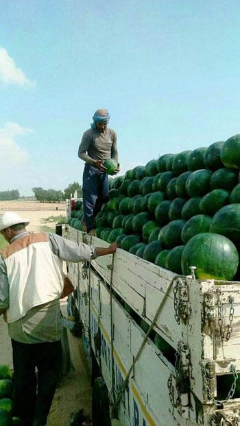 البطيخ.. الواحدة بـ5 جنيهات بالغيطان و25 للمستهلك (3)