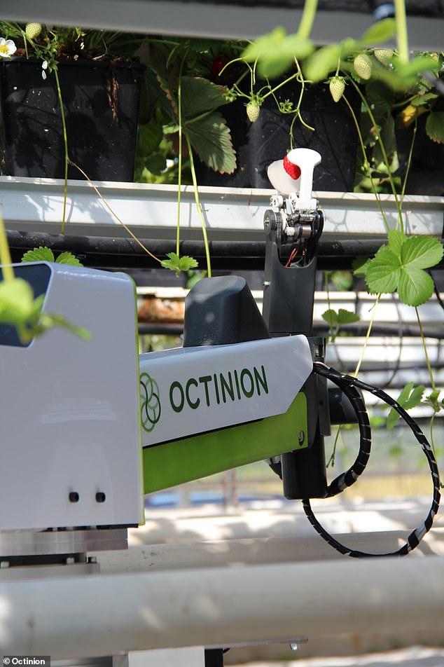 "Strawberry Robot ""Rubion"""