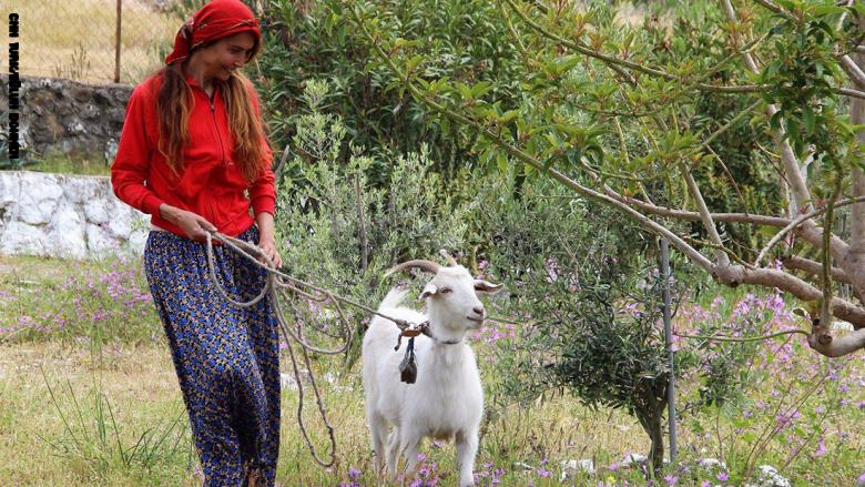 بيلون دهمن ترعى الأبقار