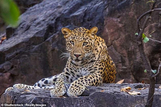 نمر يسرق طفل ويقتله خلال نوم أسرته بالهند (2)