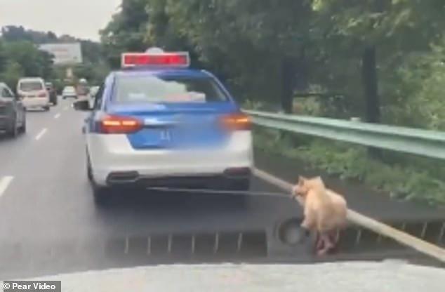 كلب يُجر بحبل فى سيارة تعاطفت معه الصينيين  (3)