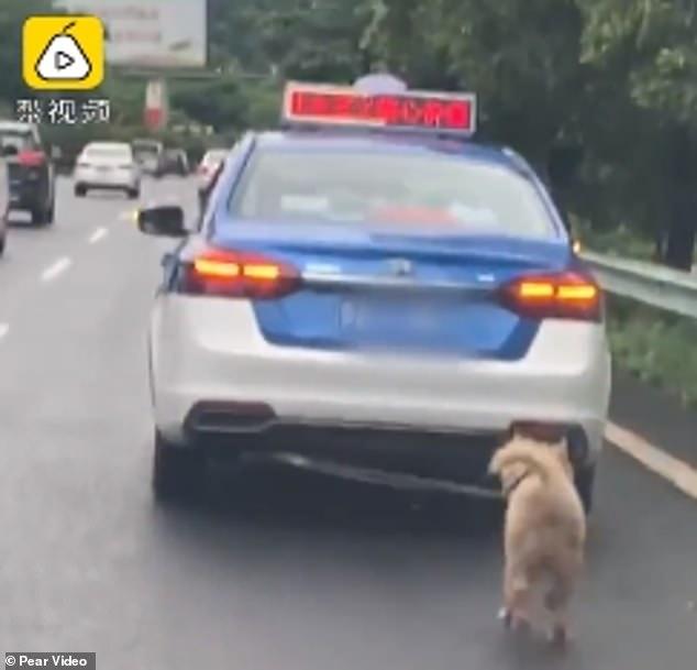 كلب يُجر بحبل فى سيارة تعاطفت معه الصينيين  (2)