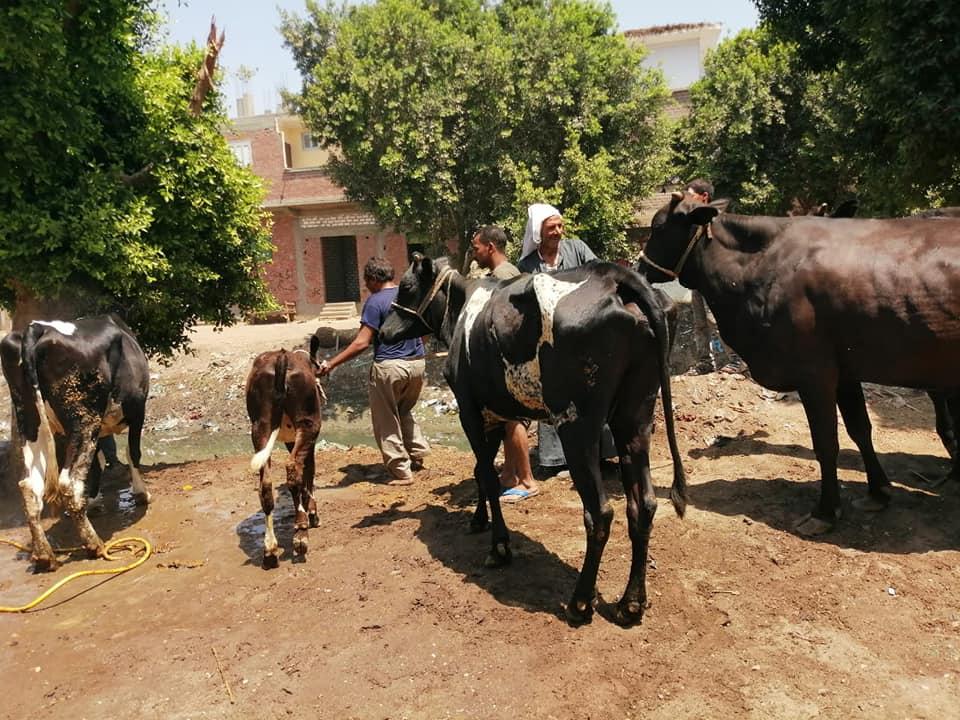 تحصين الماشية ضد الحمى القلاعية والوادي المتصدع (4)