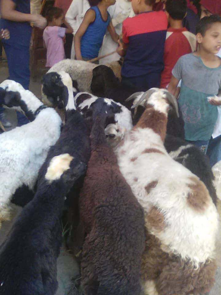 تحصين الماشية ضد الحمى القلاعية والوادي المتصدع (6)