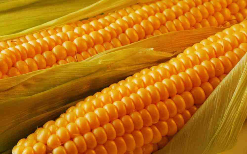 الذرة الشامية