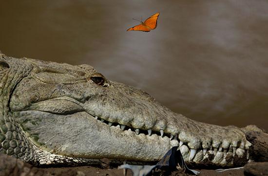 تماسيح بنهر تاركوليس فى كوستاريكا (8)