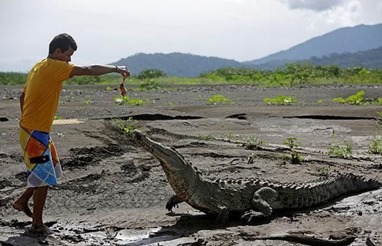 تماسيح بنهر تاركوليس فى كوستاريكا (3)
