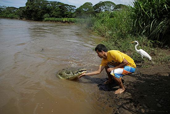 تماسيح بنهر تاركوليس فى كوستاريكا (1)