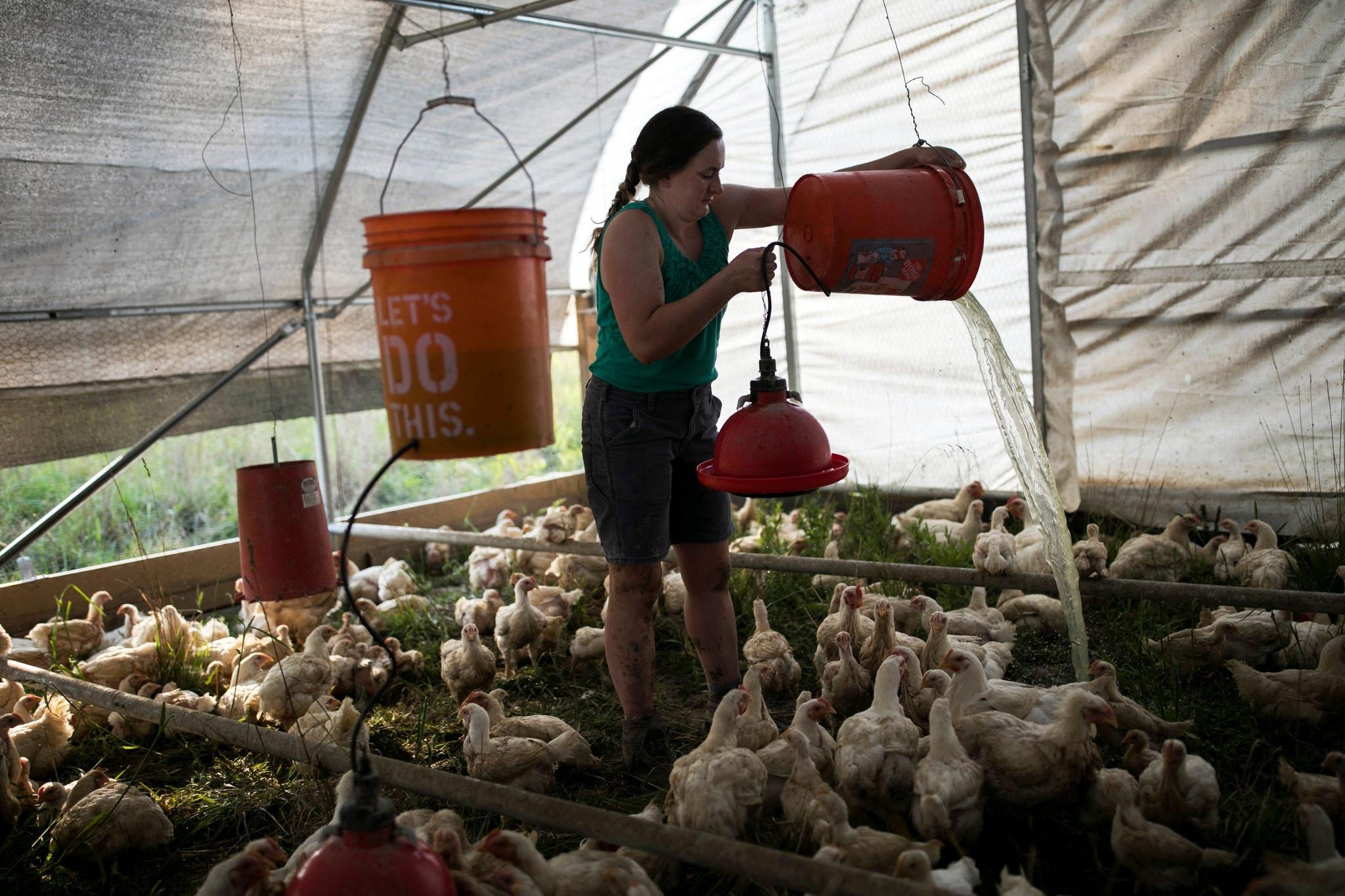 صاحبة إحدى المزارع باوهايو تحاول ترطيب دواجنها