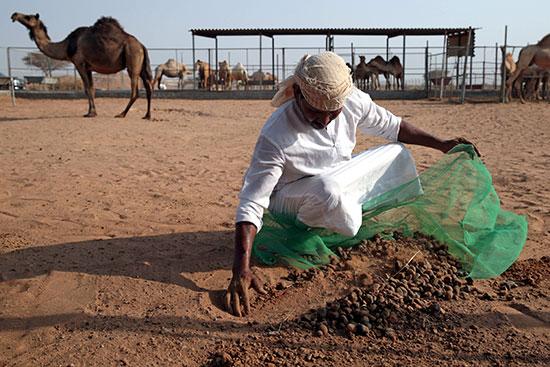 أحد العمال يقوم بجمع روث الجمال لنقله إلى مصانع الأسمنت