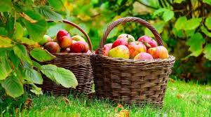 التفاح الحيوى يكسب
