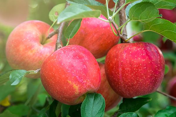 لمذاا تحرص على تناول التفاح ؟؟