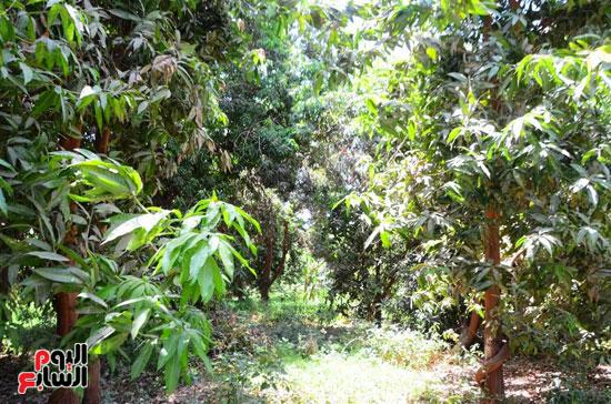 المانجو-فاكهة-الصيف-المفضلة-(7)