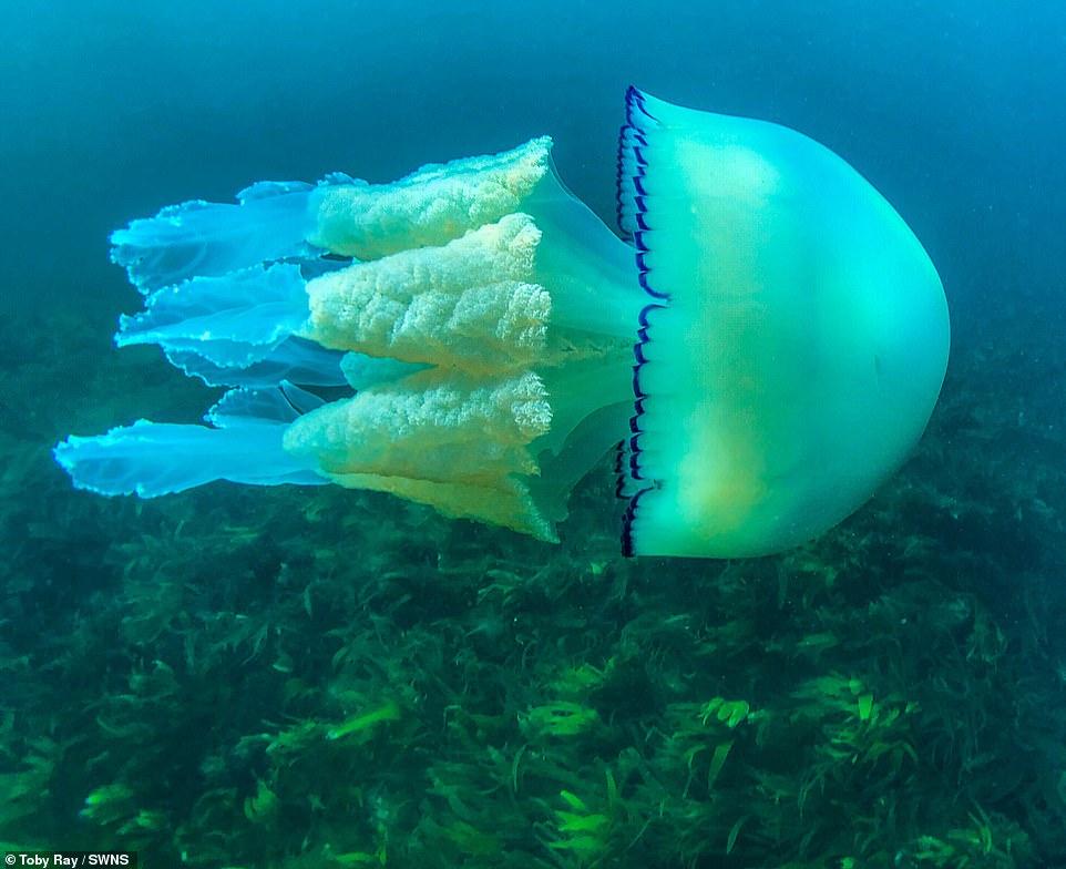 قنديل بحر ضخم  (1)