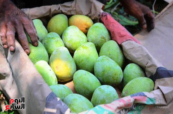المانجو-فاكهة-الصيف-المفضلة-(13)