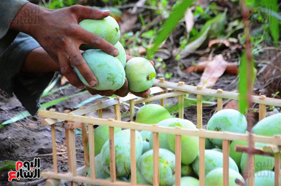المانجو-فاكهة-الصيف-المفضلة-(19)