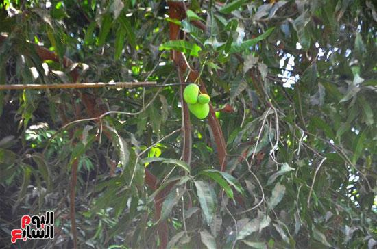 المانجو-فاكهة-الصيف-المفضلة-(32)