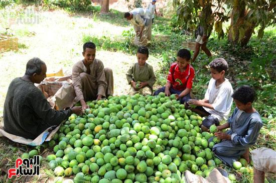 المانجو-فاكهة-الصيف-المفضلة-(2)