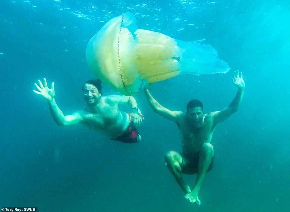 قنديل بحر ضخم  (2)