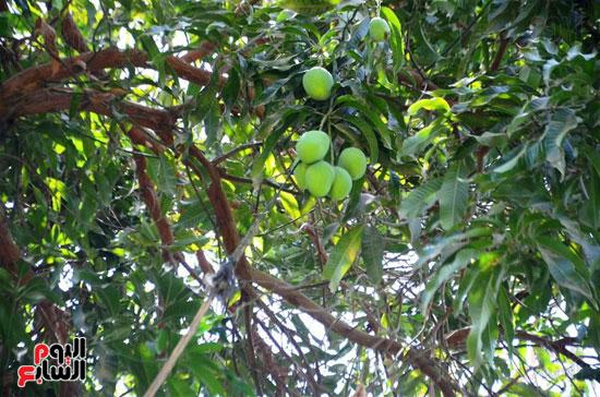 المانجو-فاكهة-الصيف-المفضلة-(30)