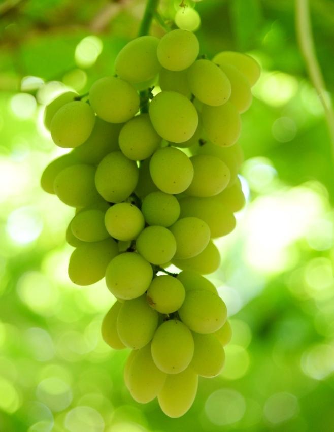 محصول العنب بالأقصر يبدأ في الظهور بالأسواق مع دخول الصيف (15)