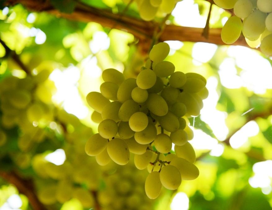 محصول العنب بالأقصر يبدأ في الظهور بالأسواق مع دخول الصيف (16)