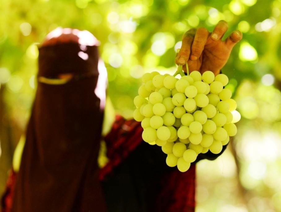 محصول العنب بالأقصر يبدأ في الظهور بالأسواق مع دخول الصيف (18)