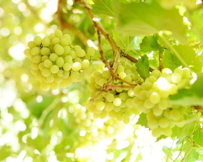 محصول العنب بالأقصر يبدأ في الظهور بالأسواق مع دخول الصيف (5)