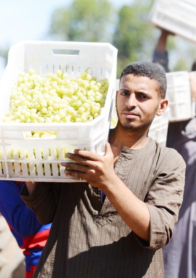 محصول العنب بالأقصر يبدأ في الظهور بالأسواق مع دخول الصيف (21)