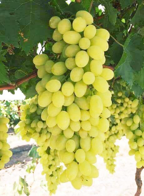 محصول العنب بالأقصر يبدأ في الظهور بالأسواق مع دخول الصيف (11)
