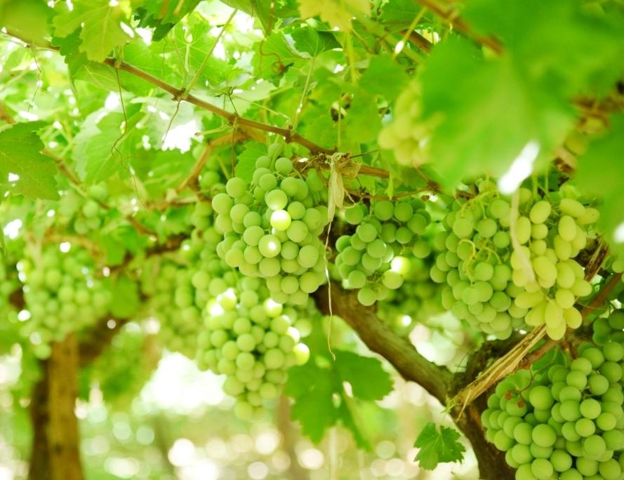 محصول العنب بالأقصر يبدأ في الظهور بالأسواق مع دخول الصيف (3)