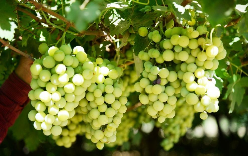 محصول العنب بالأقصر يبدأ في الظهور بالأسواق مع دخول الصيف (7)