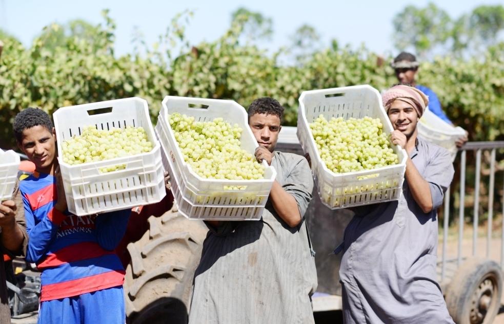 محصول العنب بالأقصر يبدأ في الظهور بالأسواق مع دخول الصيف (6)