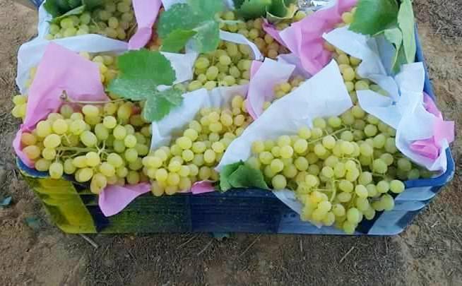 محصول العنب بالأقصر يبدأ في الظهور بالأسواق مع دخول الصيف (13)