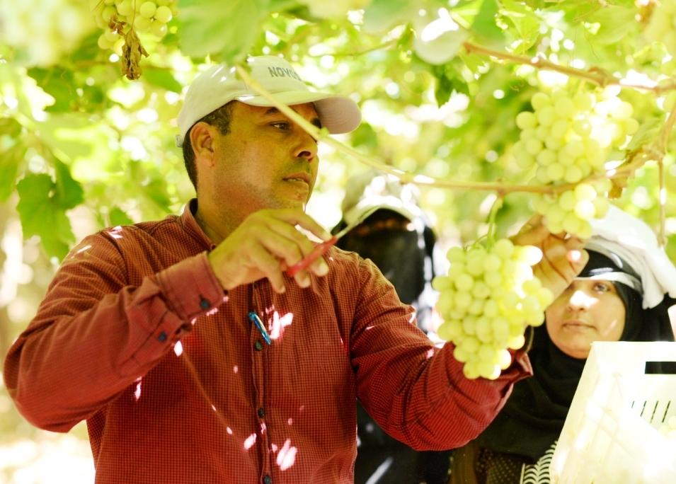 محصول العنب بالأقصر يبدأ في الظهور بالأسواق مع دخول الصيف (9)