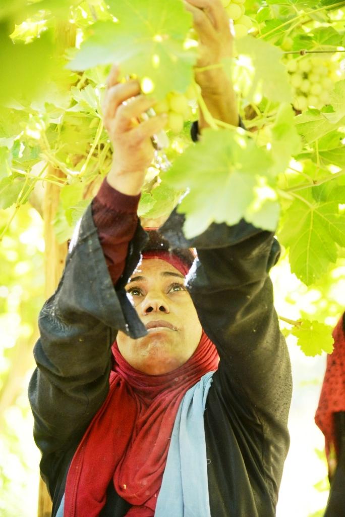 محصول العنب بالأقصر يبدأ في الظهور بالأسواق مع دخول الصيف (10)