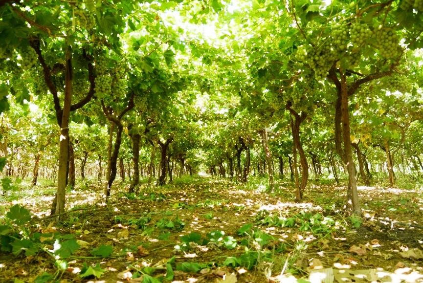 محصول العنب بالأقصر يبدأ في الظهور بالأسواق مع دخول الصيف (4)